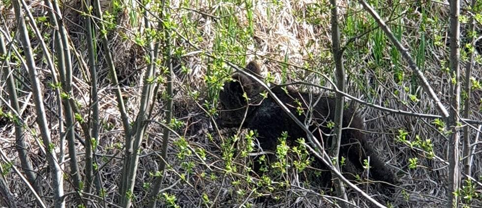Björnungen rör sig längs landsvägen och i närheten av hus och tomter i Strandmon, Edsele.