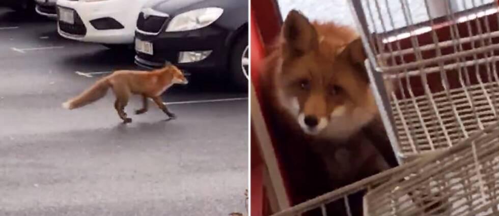 En matbutik fick en oväntad gäst när den här räven tog sig in under fredagsförmiddagen