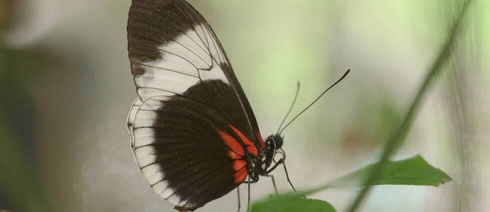 Närbild på fjäril som sitter på ett blad.