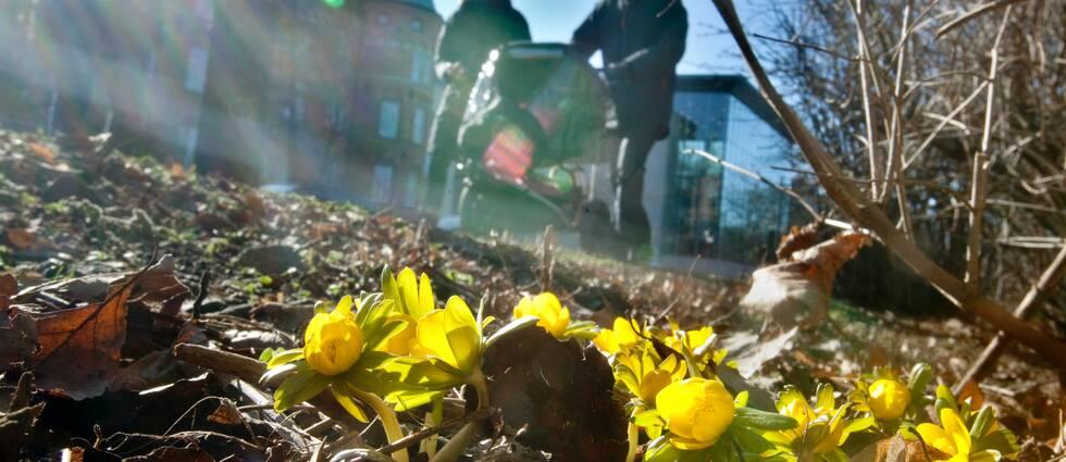 Gula blommor och ett par med barnvagn i förgrunden.