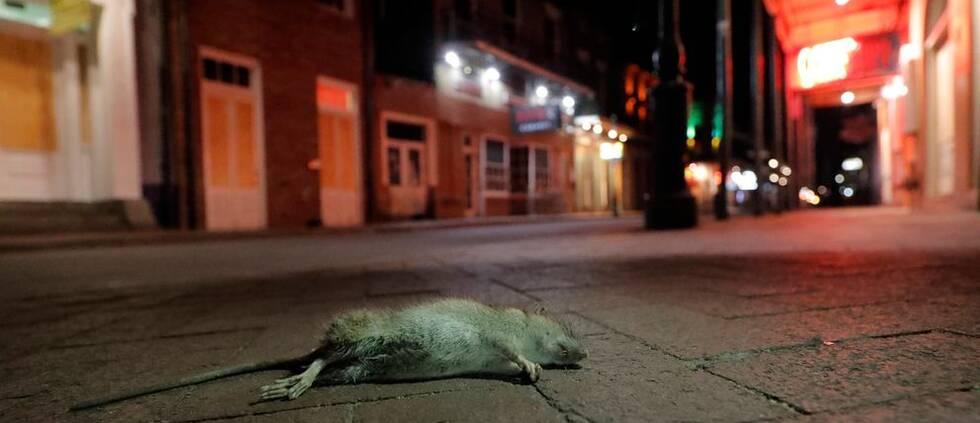 En död råtta.