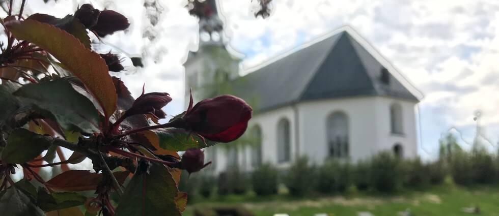 Bild på en rosenbuske med Stöde kyrka i bakgrunden.
