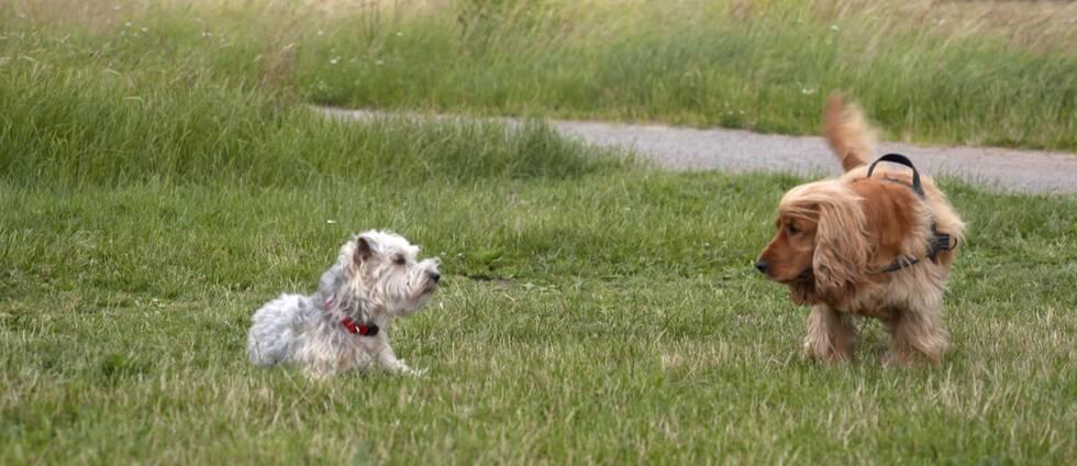 Två hundar på ett grönområde.
