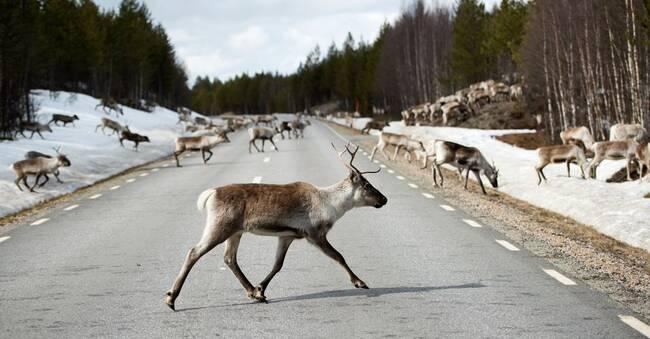 30-tal dödade renar – inga fall har lösts på drygt tre år
