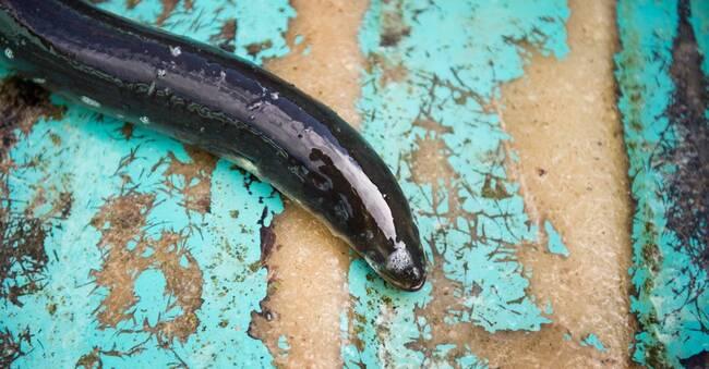 Hade 100 kilo ål i bilen – döms av tingsrätten