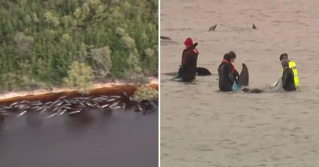 """Kampen för att rädda valarna: """"Dödshjälp kan bli ett alternativ"""""""