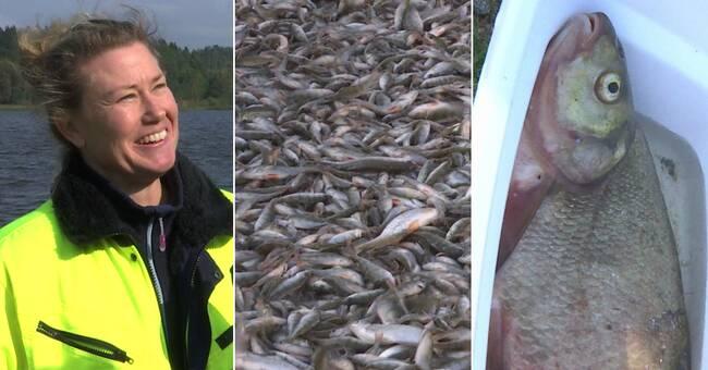 Nu dras fisken upp – ska stoppa giftiga algblomningar