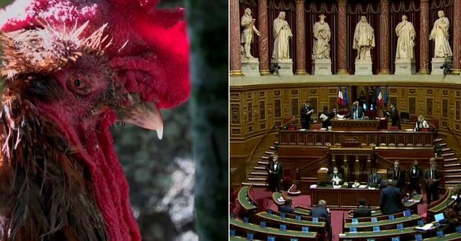 Ny fransk lag ger änder rätt att kvacka
