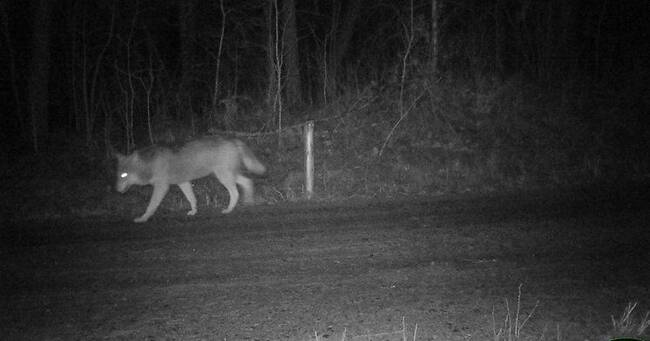 Fler vargar i Sörmland än tidigare – men inga nya revir