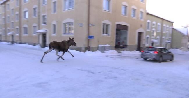 Se bilderna på skenande älg längs Östersunds gator