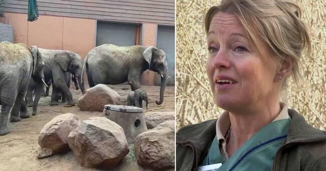 """Veterinären Therese om sorgen efter elefantens död: """"Emotionell berg- och dalbana"""""""