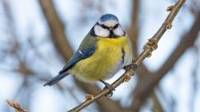 Studie: Fåglarnas blod håller dem varma om vintern