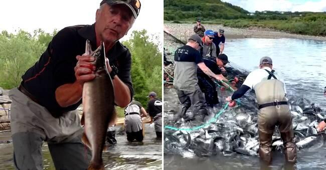 Ryska puckellaxar invaderar Norge – har även hittats i Sverige