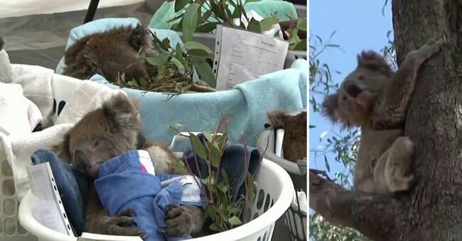 Australien har förlorat 30 procent av sina koalor på tre år