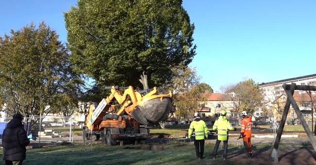 Här skopar tyska grävmaskinen upp parkträd i Karlstad