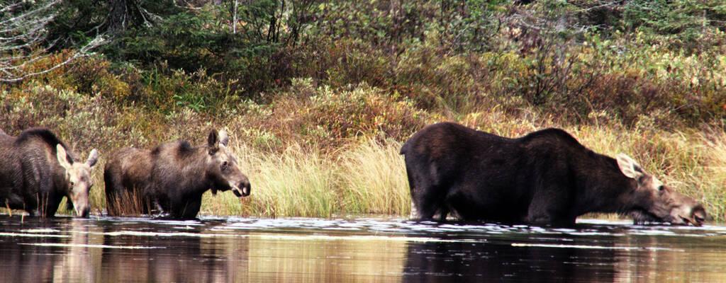 I början av sitt lopp porlar Mississippi fram i vildmark bland älgar