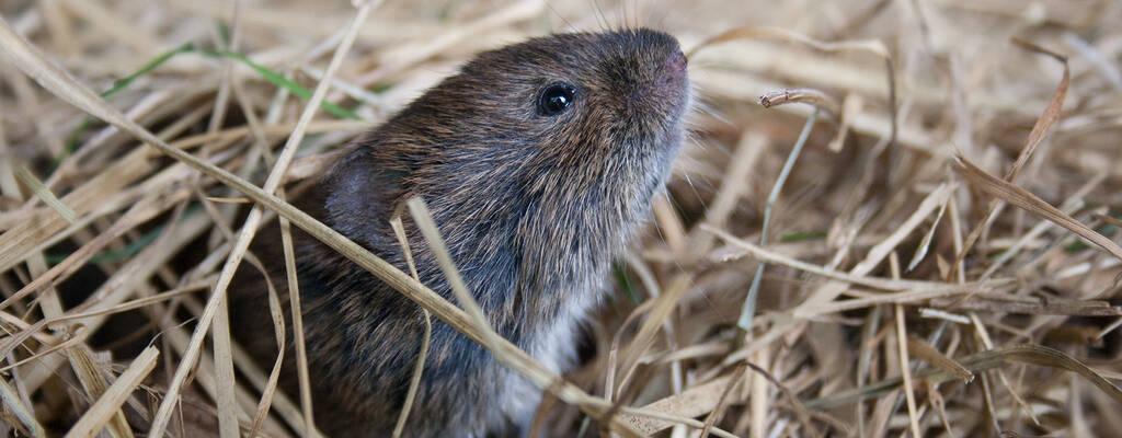 Dom må se små och hjälplösa ut, men möss har en stor påverkan på sin omgivning. För många större djur och rovfåglar spelar dom en nyckelroll som föda.