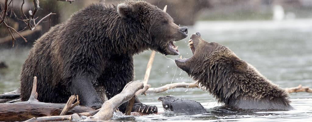 Kamtjatka är vulkanernas land. När björnen kommer fram efter den långa vintern, söker den sig till vulkanernas närhet för att beta där värmen tinat bort snön.