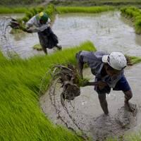 Två risodlare flyttar risplantor i vattenfyllt risfält