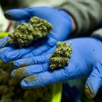 Cannabisarbetare i Kalifornien visar blomsterknoppar från cannabis.