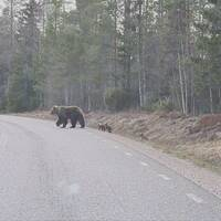Björnar går längs med väg
