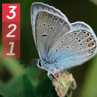 Bild på Silverblåvinge och Vinbärsfuks – två fjärilar som rört sig långt norrut