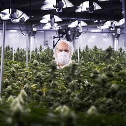 Cannabis för medicinsk användning