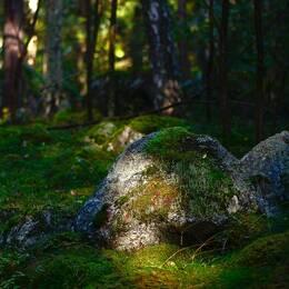 Mossig skog