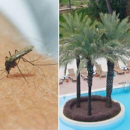 Mygga som sticker en människa. Bild på pool med palmer och solstolar.