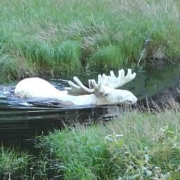 Den vita älgen simmar till vänster i bild. Till höger syns Hans Nilsson