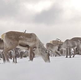 renar i som försöker beta i snön
