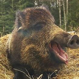 Här är de bästa tipsen för att slippa ha svinen bökandes i din trädgård.