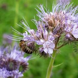 Honungsört är en av de växter som bin och humlor gillar. Rödklöver, sälg och tistlar är också populära.
