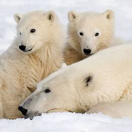 Isbjörnshona med två ungar i Kanada. Hur ser framtiden ut för dem? Mejl från tittare fick SVT:s reporter Karin Airaksinen att gräva djupare i ämnet.