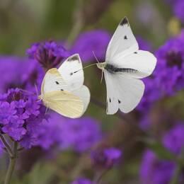 Fjärilar är bland de insekter som minskar i världen, enligt en ny forskningsrapport.