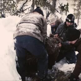 Flera personer i ett snöigt landskap. De drar ur en brunbjörn ur ett hål i marken.