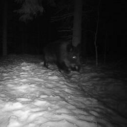 Svartvit bild på vildsvin i skogen. Bild på Jerk Sjöberg, vilthandläggare på Länsstyrelsen i Jämtland