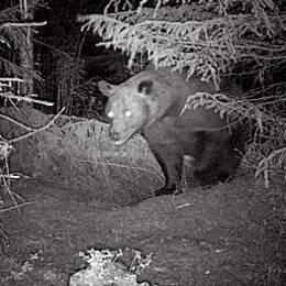 Svartvik bild på en björn fotograferad av en åtelkamera vid ett annat tillfälle