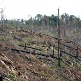 Skövlad regnskog på Sumatra.