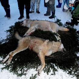 Två skjutna vargar