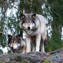 Vargarna i varghägnet på Kolmårdens djurpark.