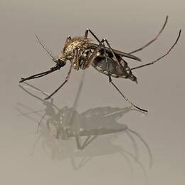 Vårsvämmygga -Aedes sticticus