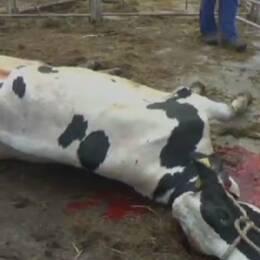 Bild på en död blödand eko och på landsbygdsministern Sven-Erik Bucht