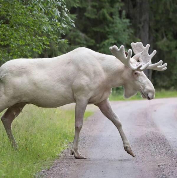Den vita älgen i Värmland skapar irritation bland de boende i Värmland.
