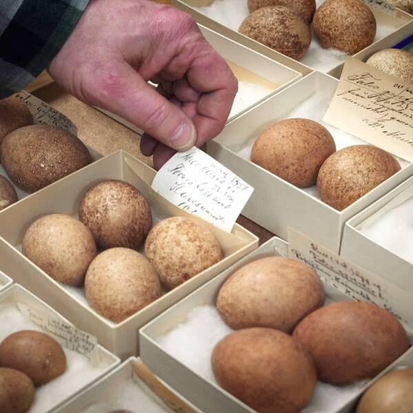 Olika sorters ovanliga fågelägg i små lådor med lappar på.
