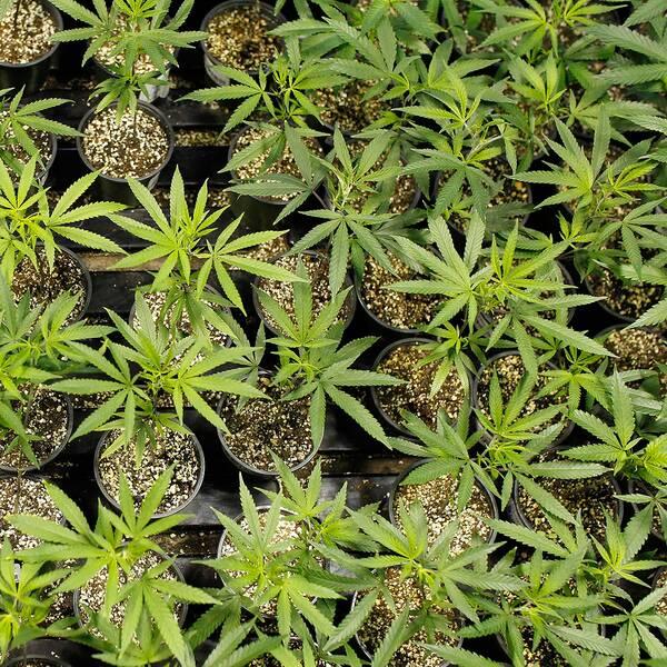 Cannabisplantor i krukor.