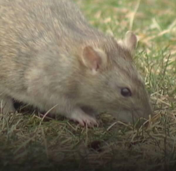 Antalet råttsaneringar i Sverige har fördubblats på fem år.