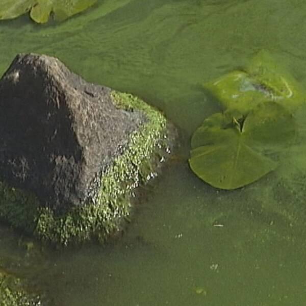 Vattnet liknar rabarberkräm.