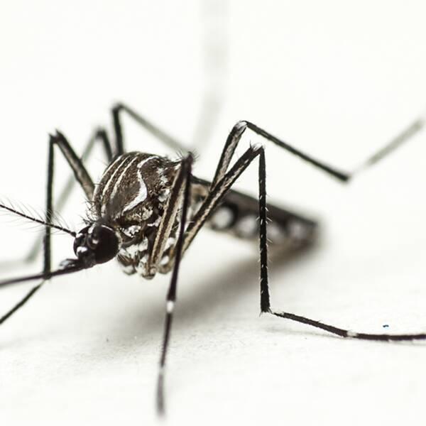 Aedes aegypti, även kallad gulafebernmyggan.