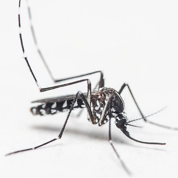 Aedes albopictus, även kallad tigermygga, sprider bland annat zikavirus.